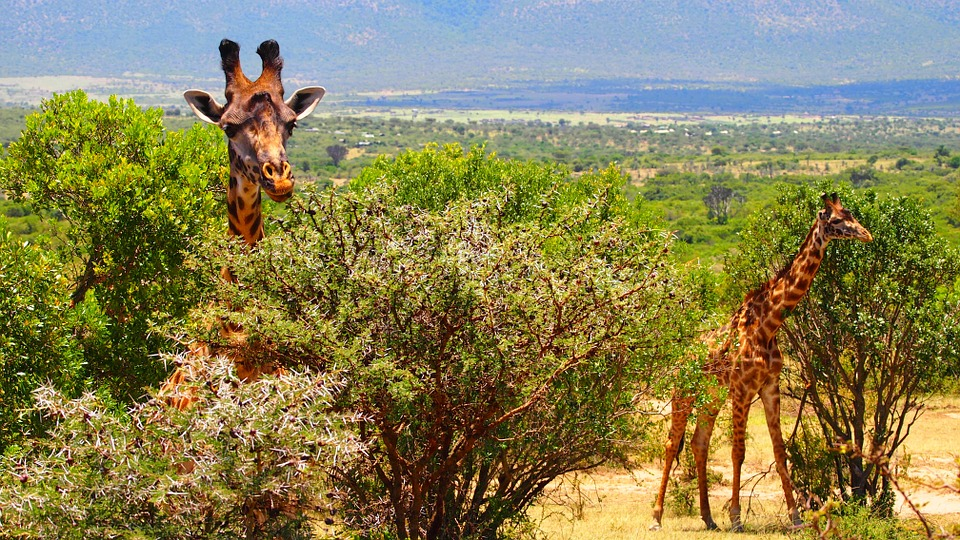Kenya Giraffe 2.jpg