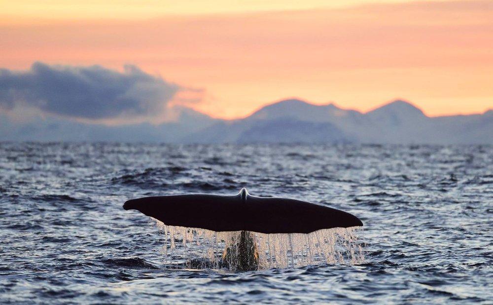 Lofoten whale.jpg