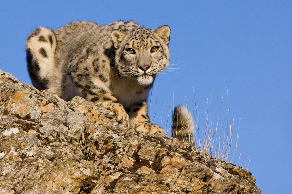 Nepal Snow Leopard.jpg