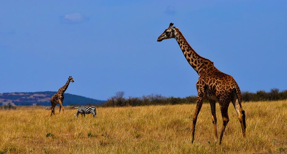 Tanzania giraffe safari.jpg