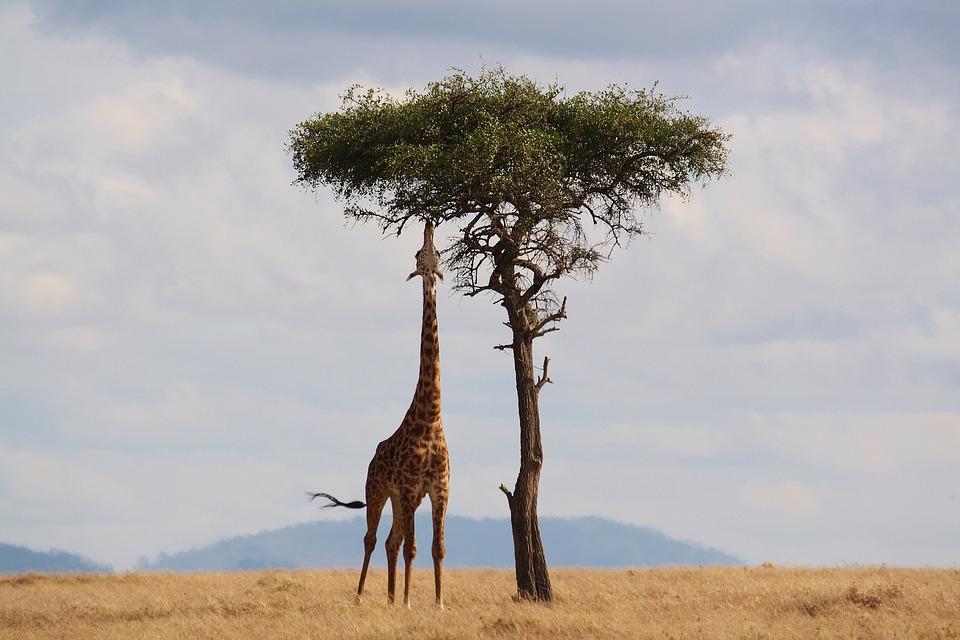 Kenya Giraffe.jpg