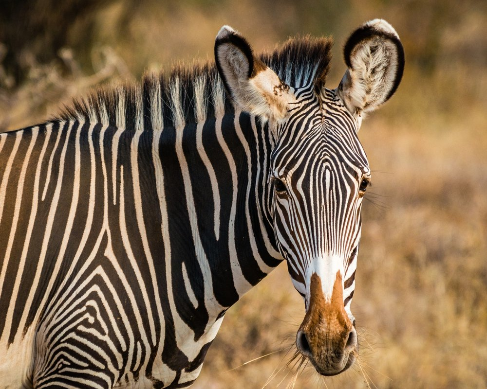 Kenya samburu giraffe.jpg