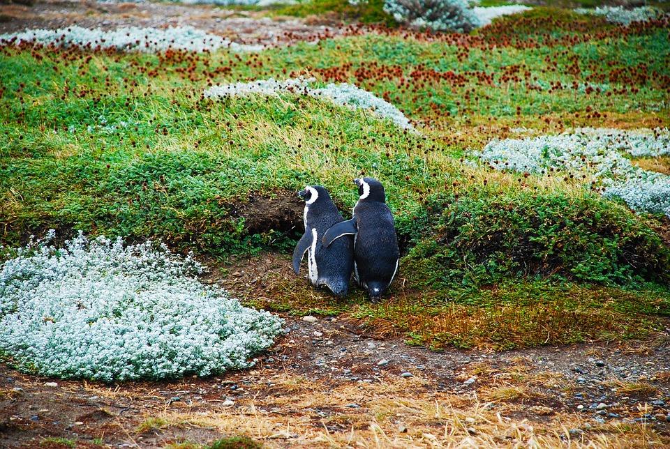 Argentina Penguins.jpg