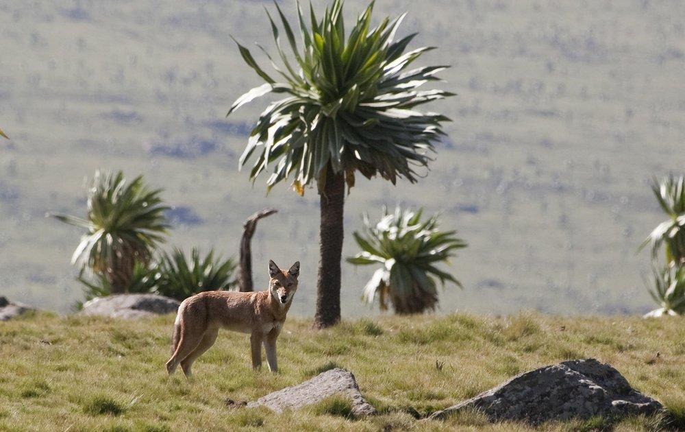 Ethiopia fox.jpg