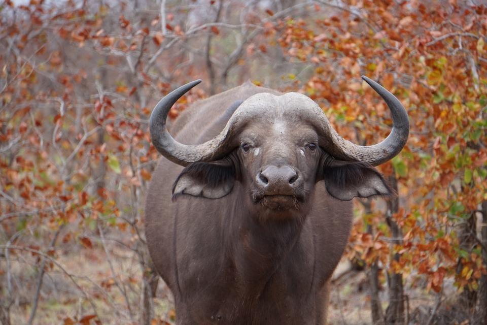 South Africa buffalo.jpg