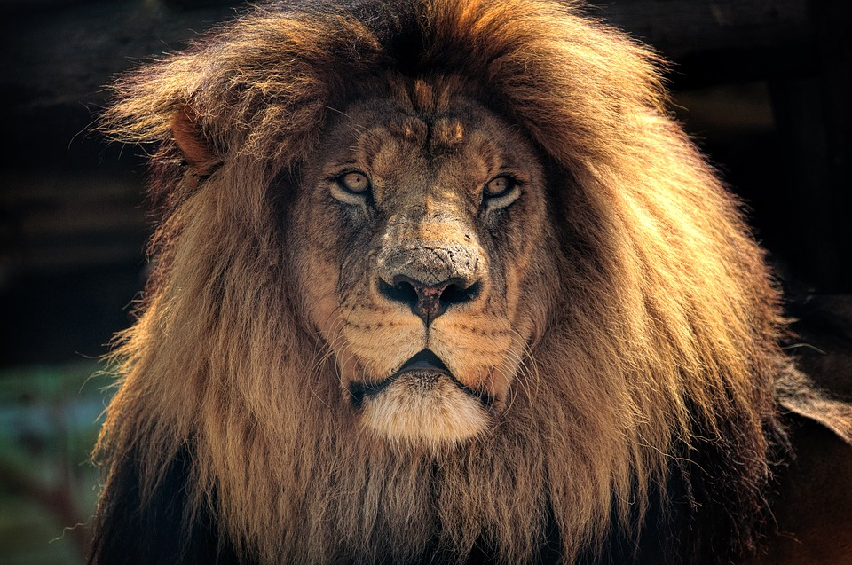 South Africa lion.jpg