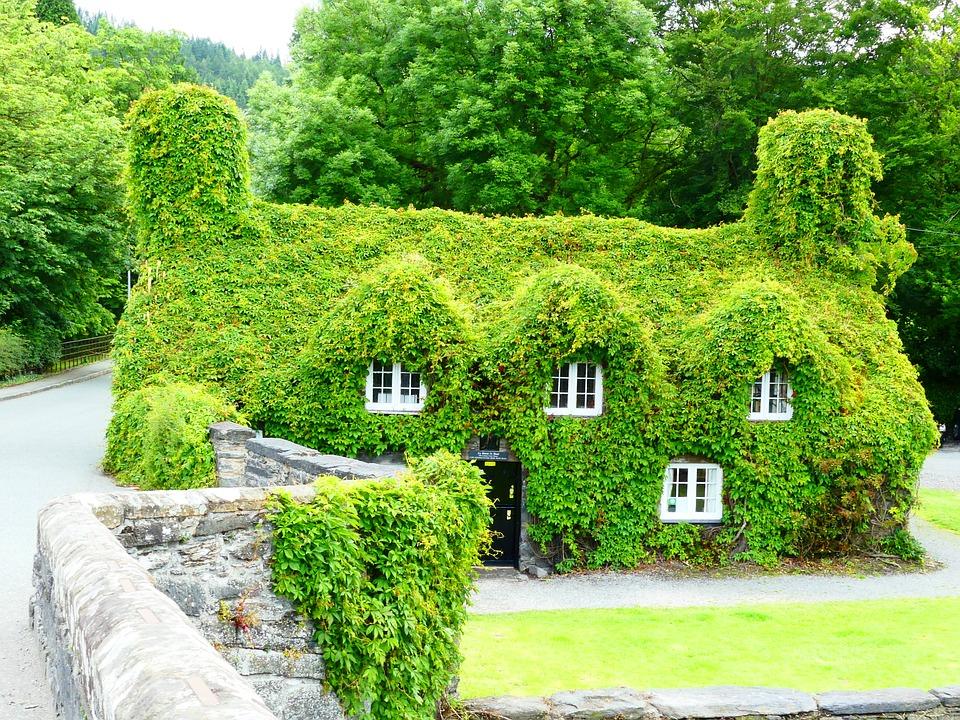 Wales Ivy.jpg