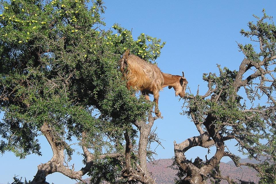 See Tree climbing goats