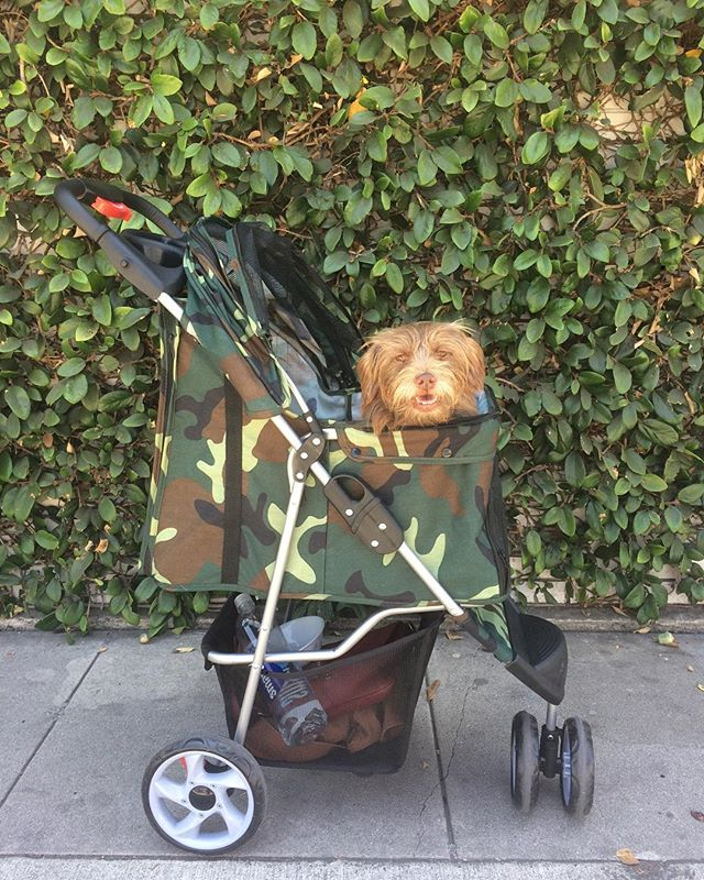 Can you spot the dog in the stroller? 🕵🏼♀️