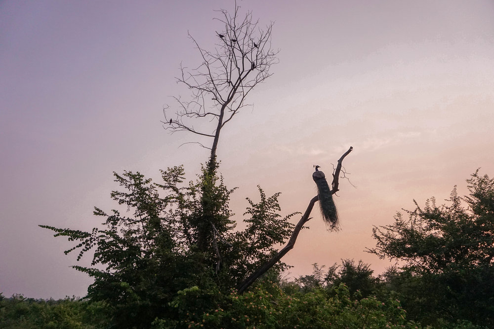 Sri Lanka - Udawalawe Safari