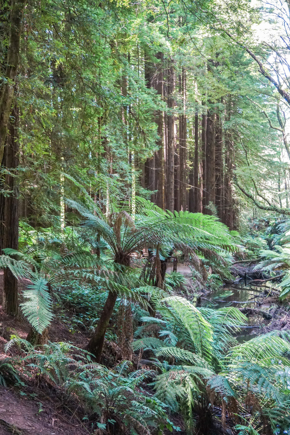 Australia - Great Ocean Road - Beech Forest
