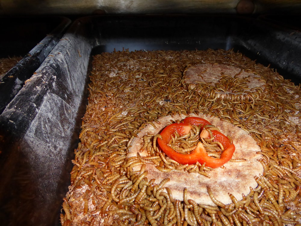 Insects - Mealworms & Black soldier fly larvae