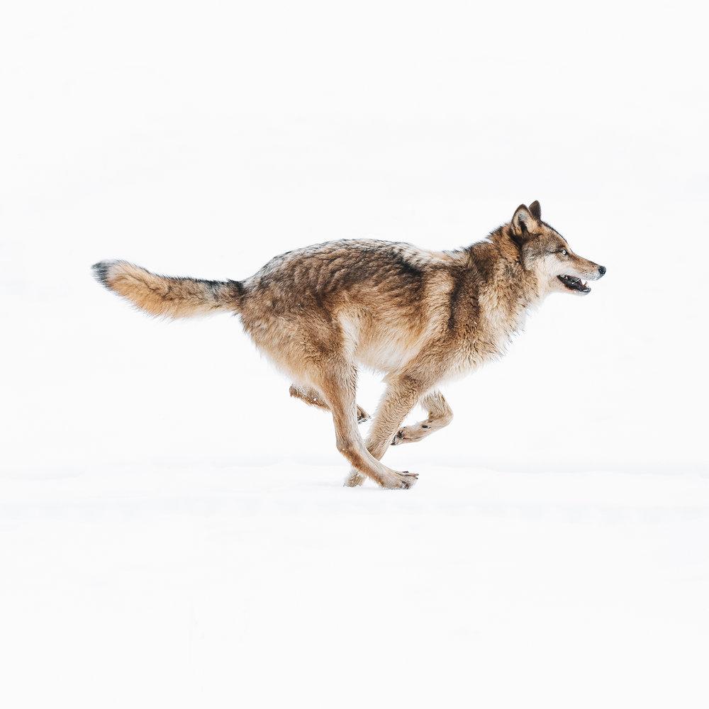 charlotte-little-wolf-Banff-BC-wildlife-wolf-running-icon.jpg