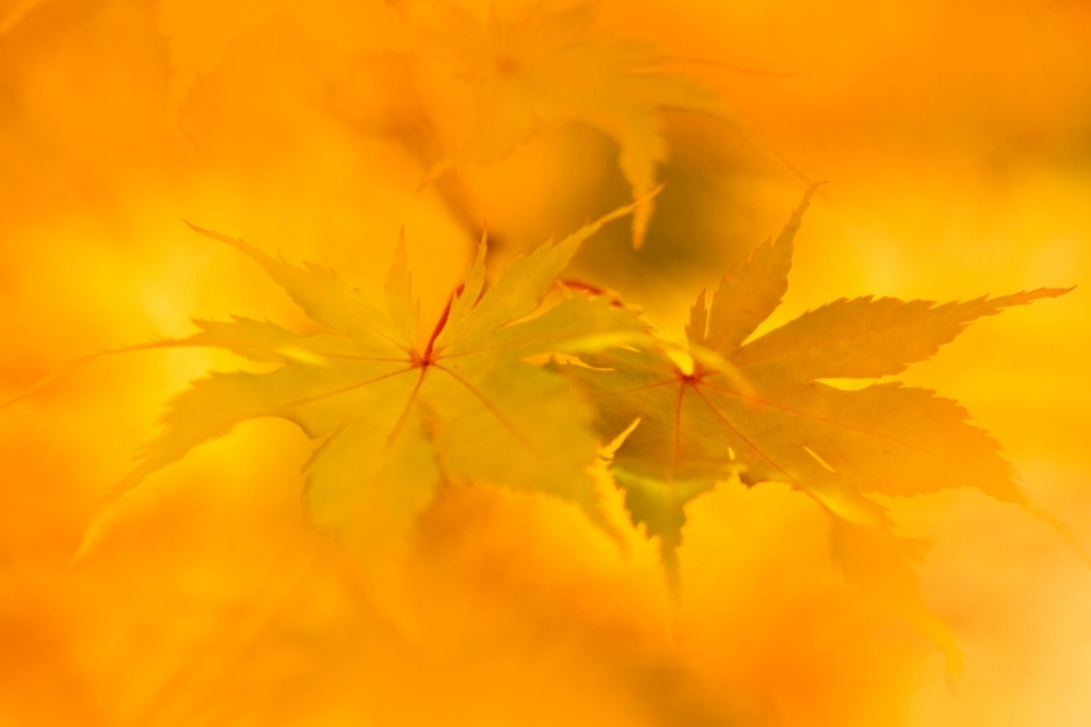 Autumn Gold