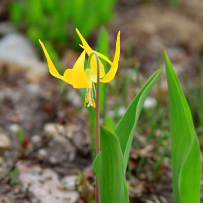 YellowLillytype.jpg