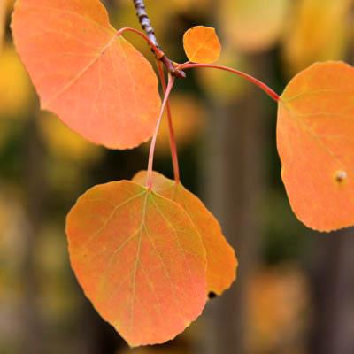 Aspen Leaves c-u.jpg