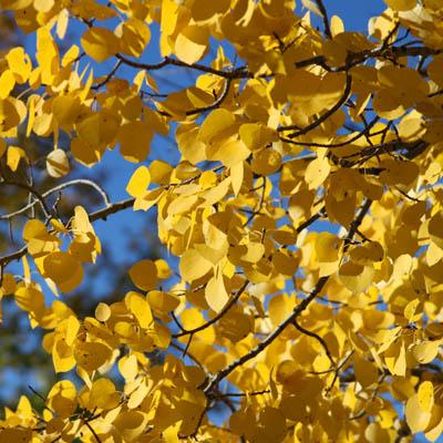 GoldenAspen.jpg