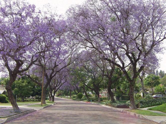 Whittier birth classes jacaranda trees