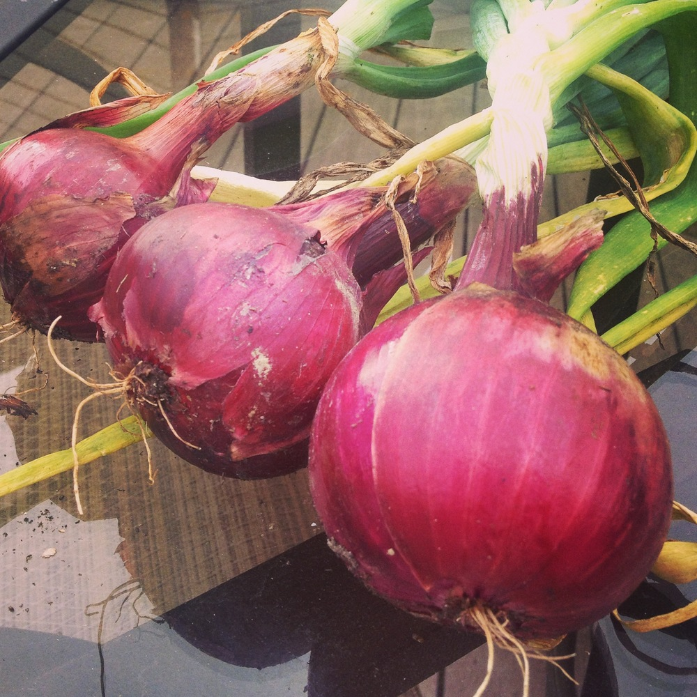My First Red Onions