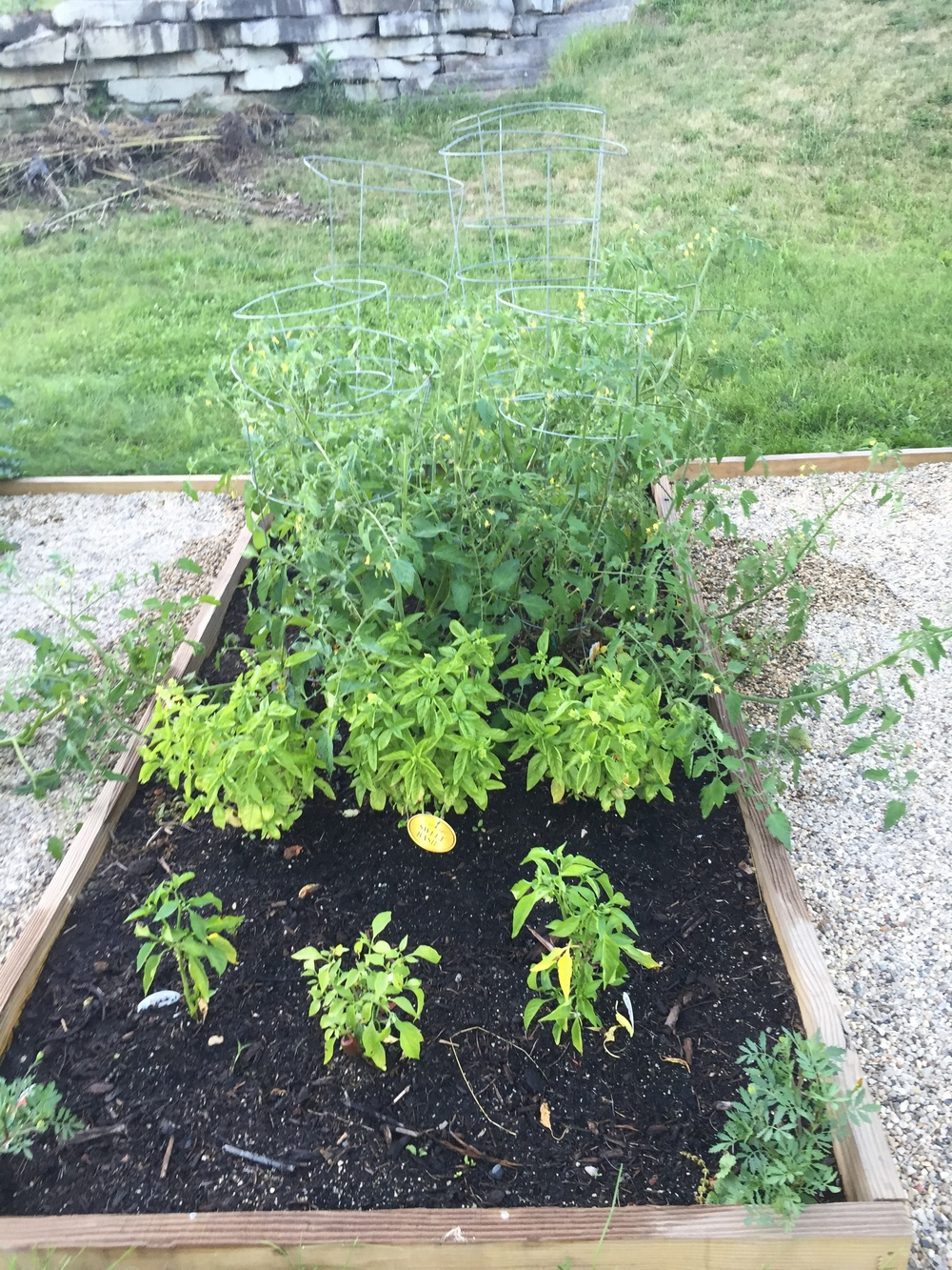 Tomatoes, Basil and Peppers 2015