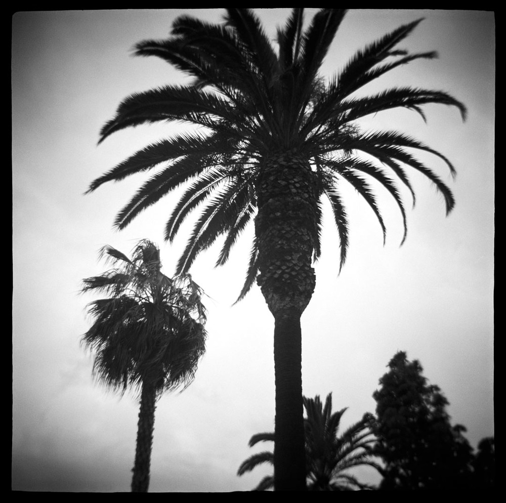 Palm Trees, Santa Monica