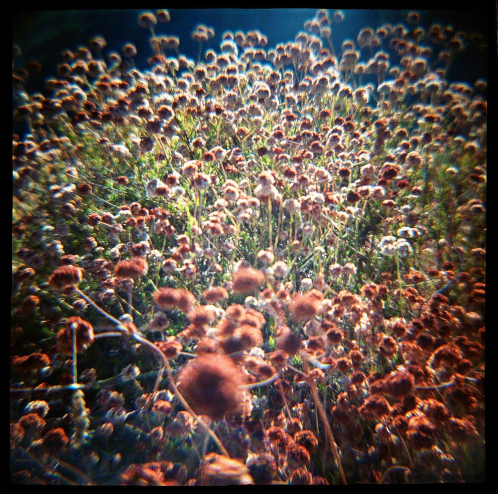 California Buckwheat, Topanga State Park