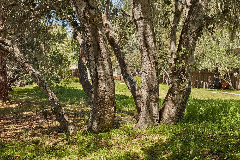 Oaks in Front Yard