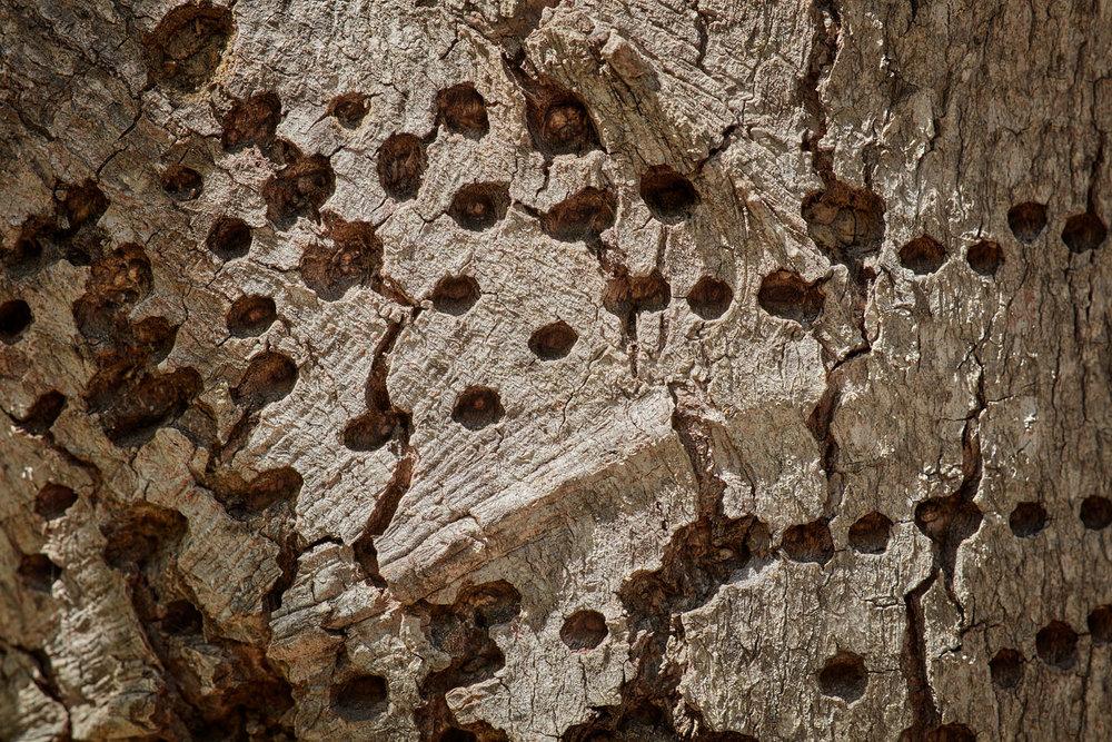 Woodpecker Detail