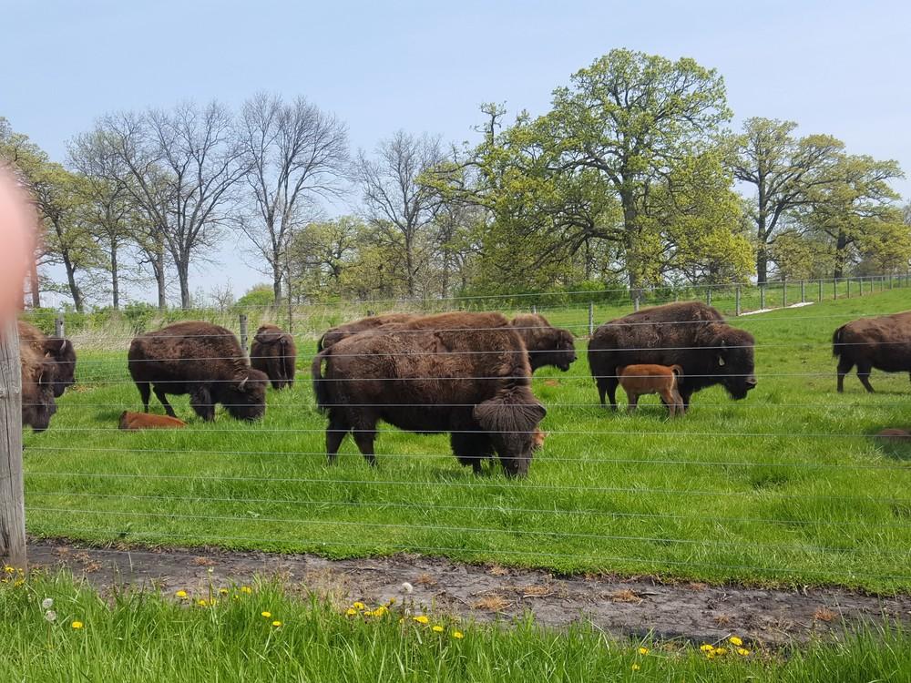 Fermilab_bison3