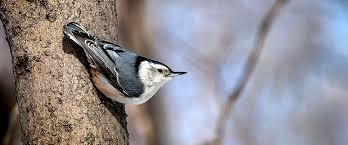 Photo Cred:  Wildaboutbirds.com
