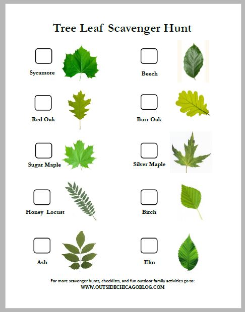 Trees - Learn about trees in your area with this tree leaf scavenger hunt! Learn to identify trees through hands-on comparative learning!