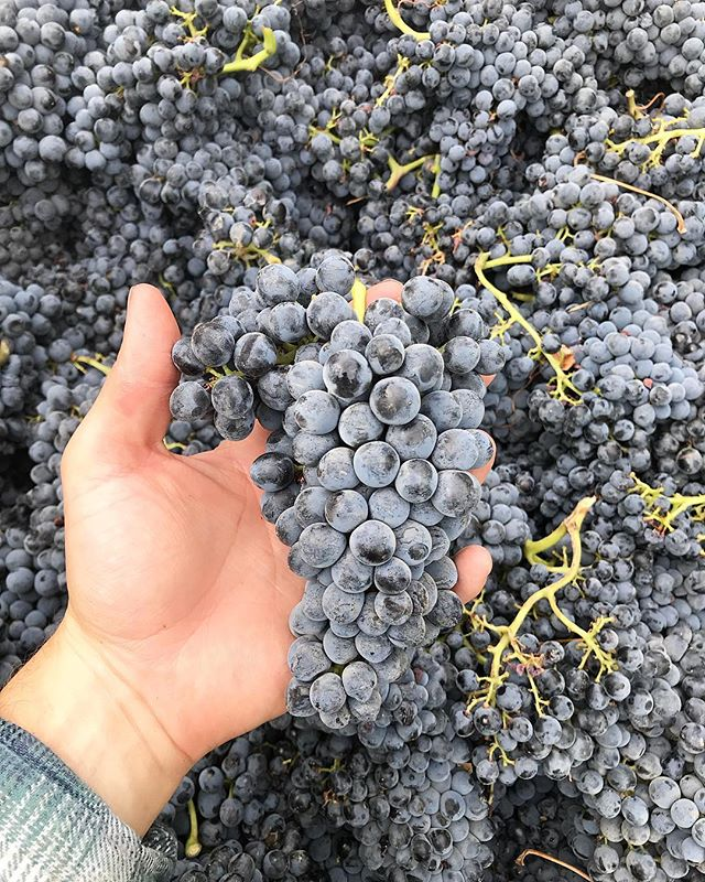 Harvest continues moving along from one Grenache to another... Have we ever mentioned to you how much we love Grenache! 😉  #deadpoplarvineyard #grenache heading to fermentor soon! @usdoingwine #90points #jebdunnuck #vigneron #rhonewine #DRINKupsidedown #WAwine #TheGoldDrop #rhone #varietals #WashingtonWine #wholecluster #nativefermentation