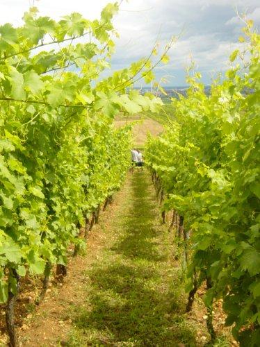 Vineyard at Domaine Emile Beyer