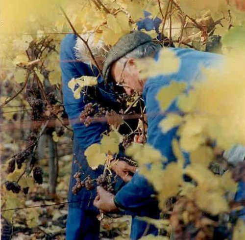 Grape harvest, Domaine Emile Beyer