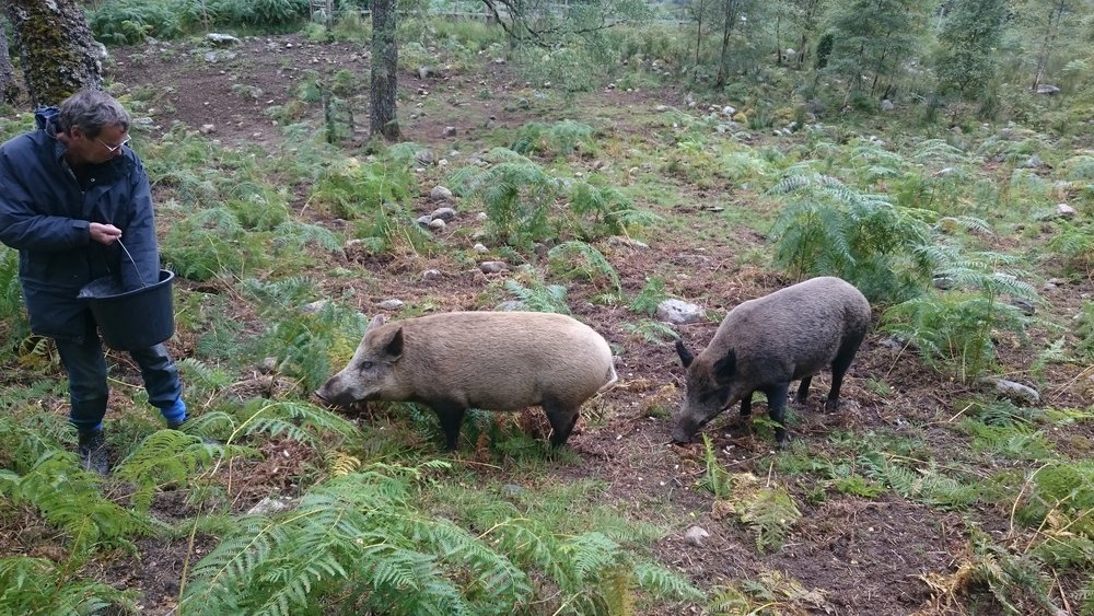 Alan feeding the so-called wild boar