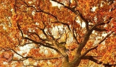 maturing oak tree cropped.jpg