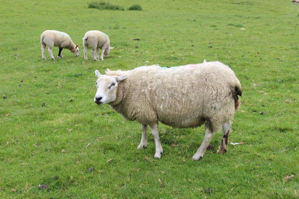 Yorkshire-Family-Travel-Children-Countryside-Sheep