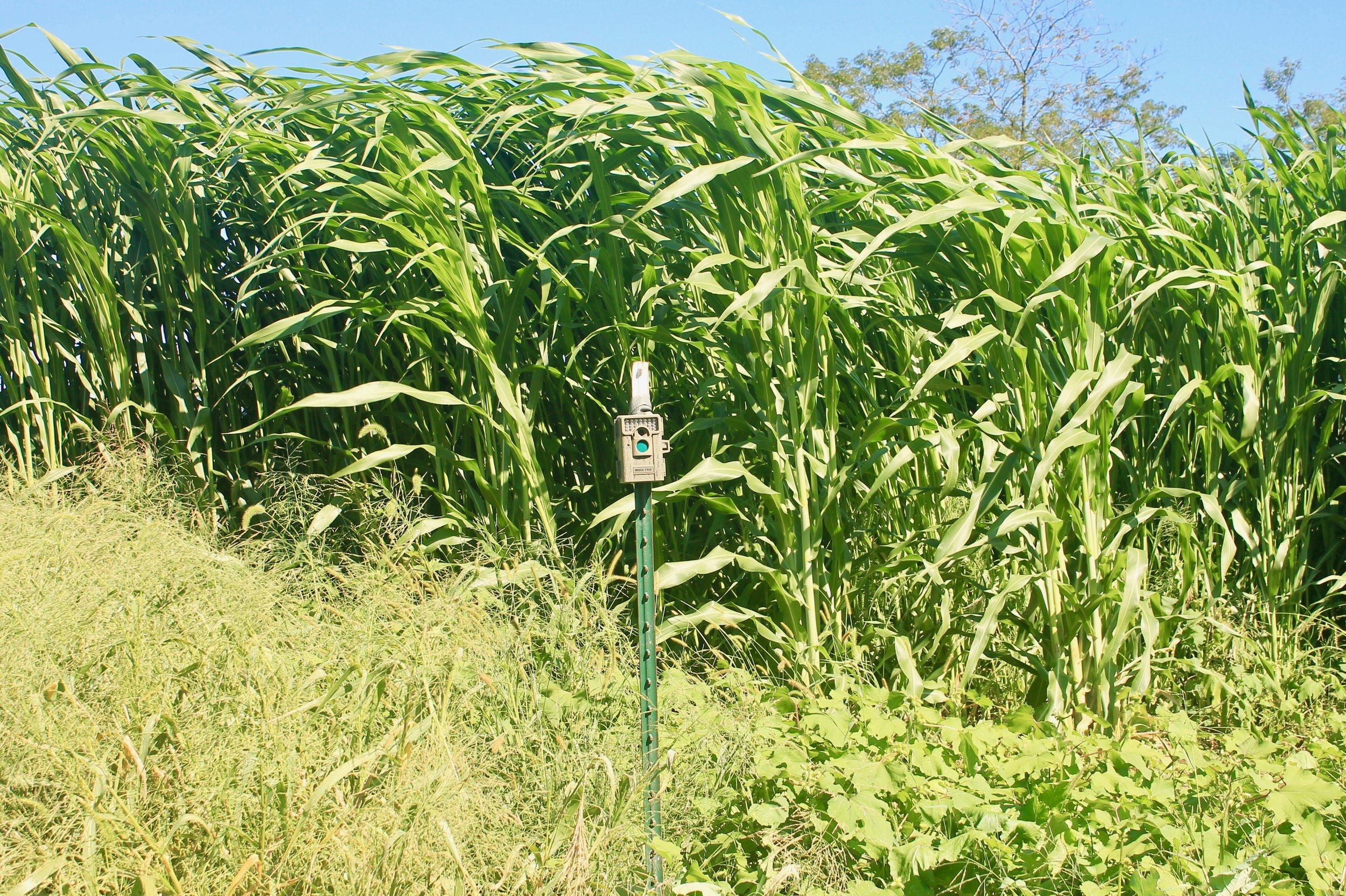 Food Plot Screens: Planting for Concealment — The Process Outdoors