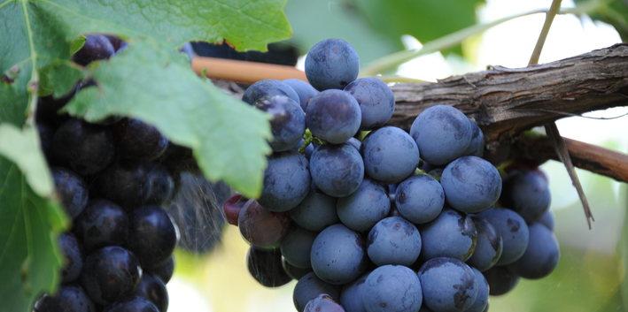 Uva di Vernatsch o Schiava dell'Alto Adige