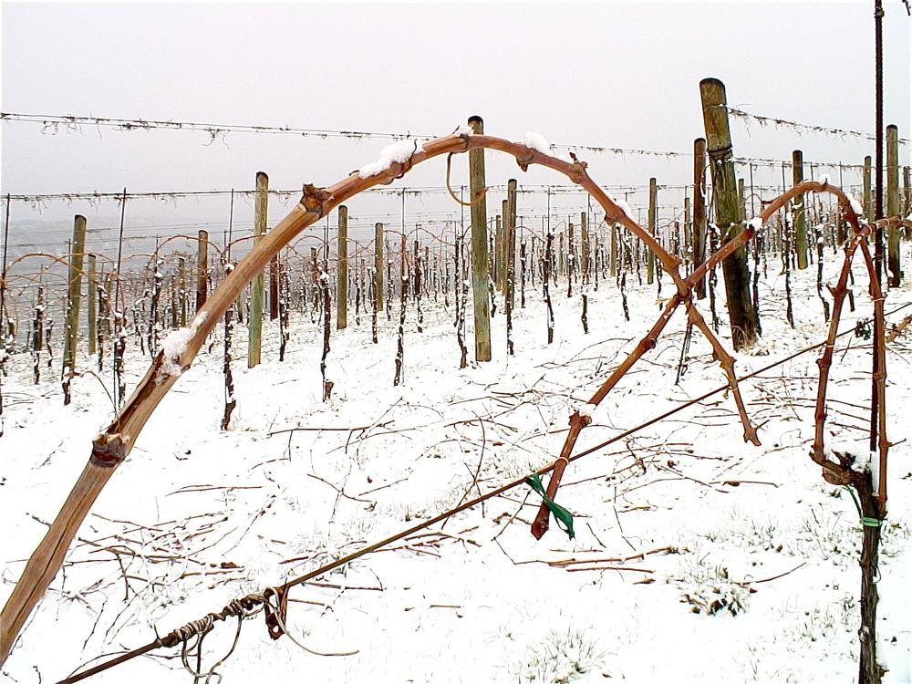 Inverno in vigna e nella ricerca scientifica…