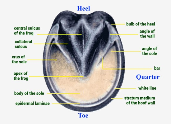 Anatomy of the Normal Hoof – Life Data Labs, Inc.,  http://www.lifedatalabs.com/articles/hoof-anatomy