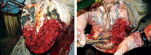 Debriding the affected tissue.     American Farriers Journal – Treating Prolific Canker. Lisa Giza