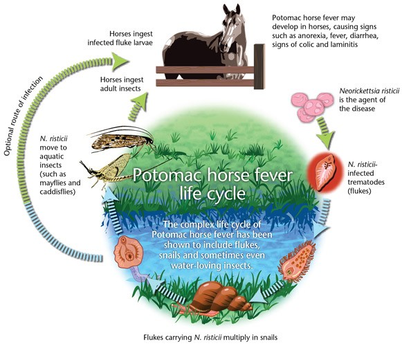 Life cycle of  Neorickettsia   risticii , the bacterium that causes Potomac horse fever.  (Source:  http://www.rideauvet.com )