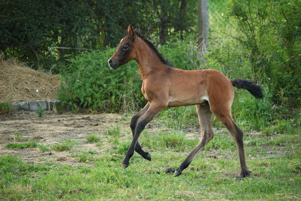 young horse nutrition from nursing foals to yearlings badger