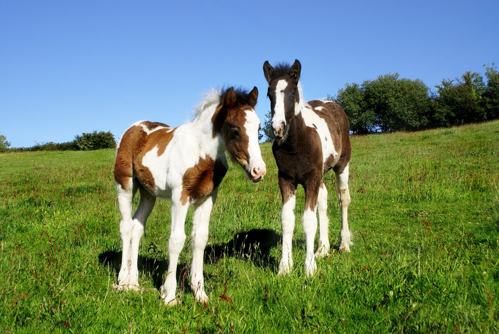 Pair of foals