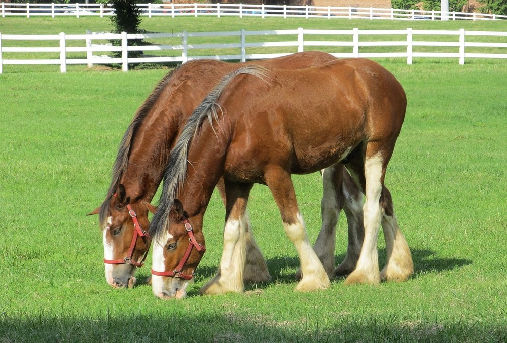 Clydesdale yearlings