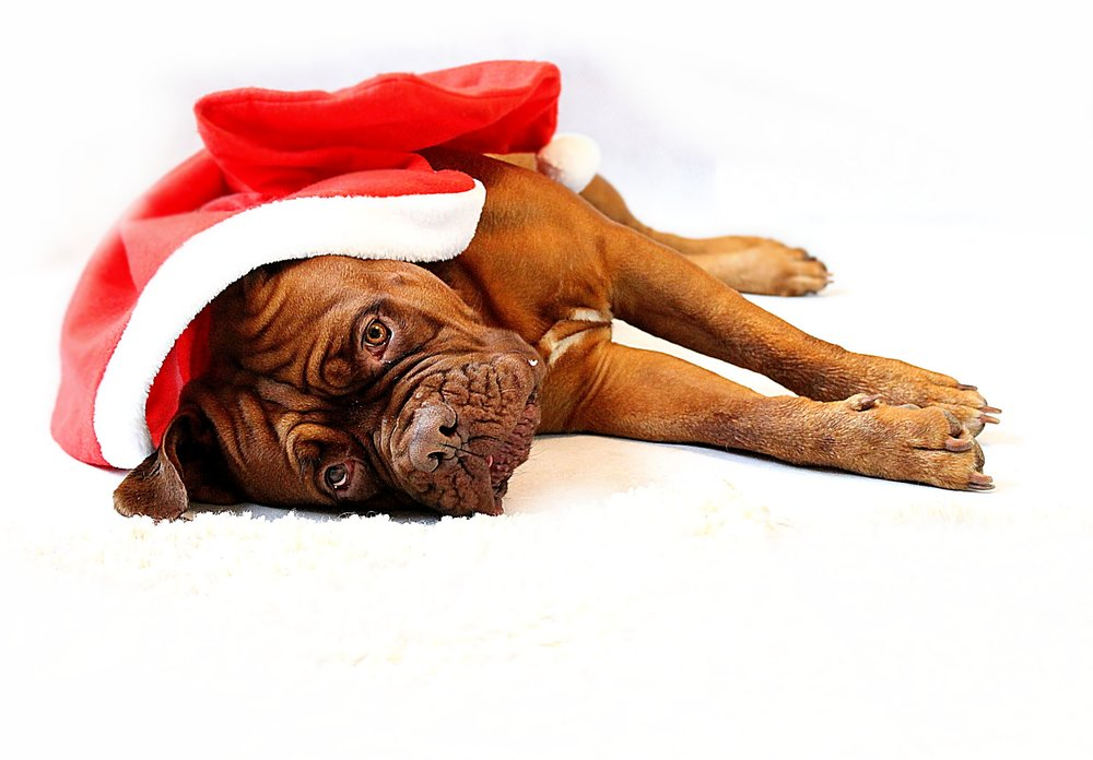 Pet Holiday Hazards - Sad Dog in Santa Hat