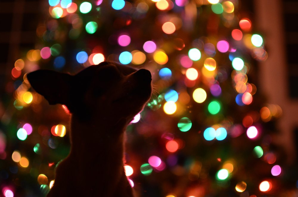 Dog silhouetted against colorful Christmas tree lights