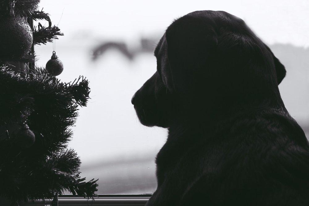 Stressed Dog During Christmas Holiday Season