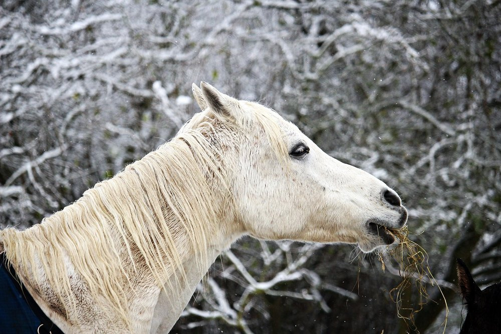 White horse in the winter snow
